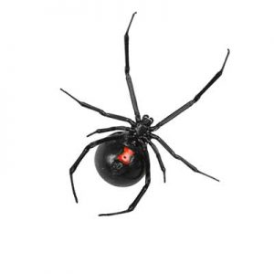 Indoor Spider - Black Widow