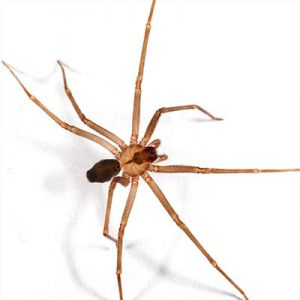 Indoor Spider Brow Recluse