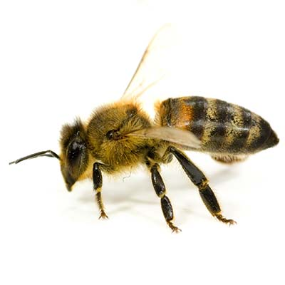 Honey Bee Removal Las Vegas