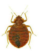Bed Bug Control Las Vegas