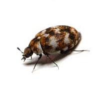 Beetle Control Las Vegas