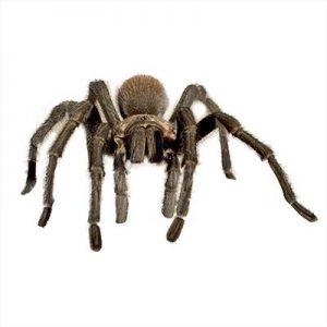 Desert Tarantula Spider