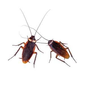 German Cockroach Las Vegas