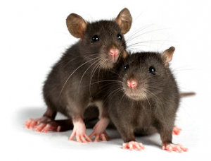 Rodent Control Las Vegas
